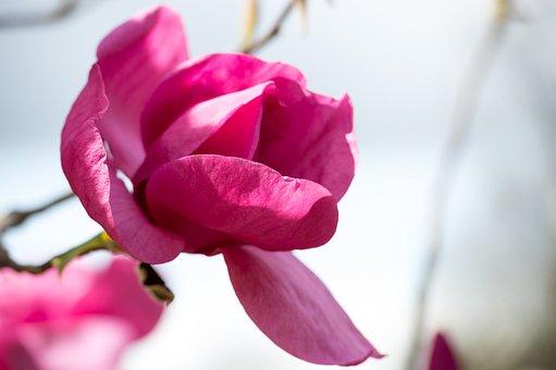 Magnolia, Pink, Magenta, Spring, Flower, Blossom, Tree