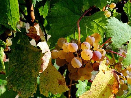 Grape, Cluster, Vine, Wine, Vintage, Viticulture