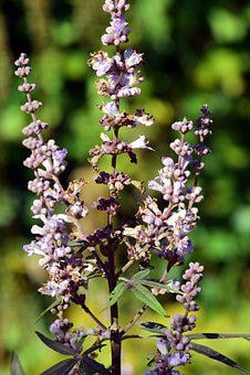 Monk Pepper, Agnus Castus, Medicinal Herb