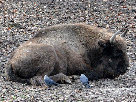 Bison, łożyskowiec, Bullish, Ungulates, Mammal, Animal