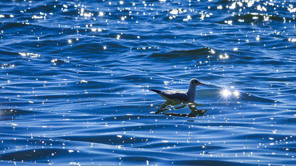 Lake Constance, Seagull, On The Water, Bank