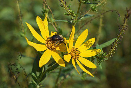 Bumblebee In Wild Sunflower, Bee, Insect, Pollinator