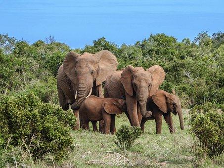 Elephant Family, Elephant, Safari, Africa, Bigfive