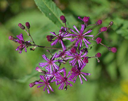 Ironweed Top-down, Flower, Blossom, Bloom, Plant