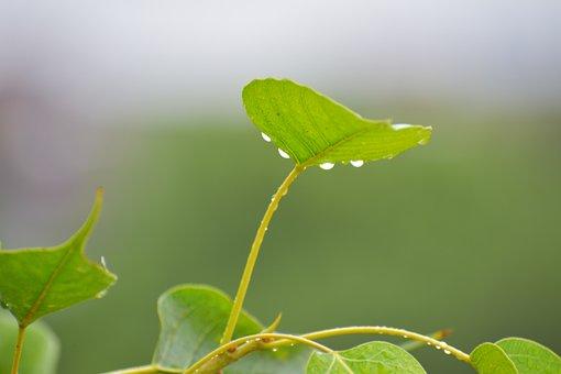 Pipal Leaf, Rain Drops, Bodhi Leaf, Raining