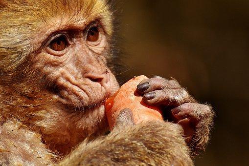 Barbary Ape, Eat, Carrot, Cute, Endangered Species