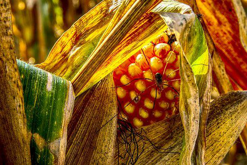 Corn, Corn On The Cob, Spider, Insect, Close, Yellow