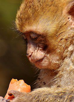 Barbary Ape, Eat, Carrot, Cute, Endangered Species