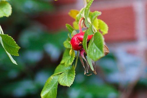 Herb, Nature, Rose-hip, Autumn, Fall, Fruit