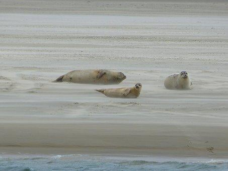 Grey Seals, Dunes, North Sea, Crawl, Borkum