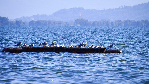 Lake Constance, Gulls, On The Water, Bank