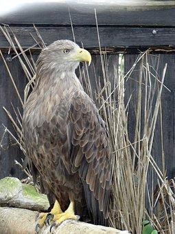 White-tailed Eagle, Bird Of Prey, Jastrzębiowaty