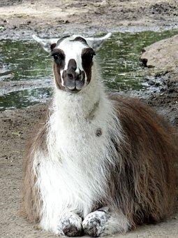 Lama, Camelids, Ungulates, Mammal, Fauna, Animal