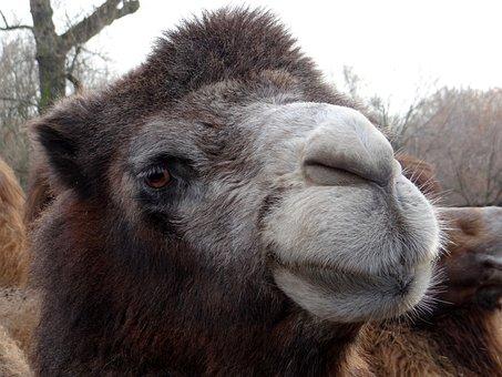 Wild Bactrian Camels, Baktrian, Big Animal, Mammal