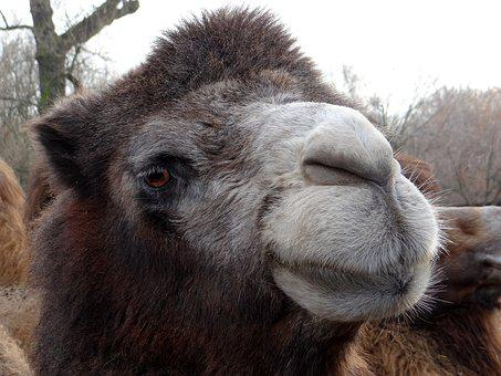 Wild Bactrian Camels, Baktrian, Big Animal, Mammal