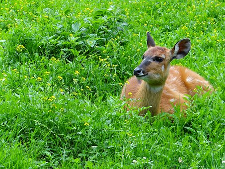 Wikunia, Camelids, Ungulates, Mammal, Animal, Fauna