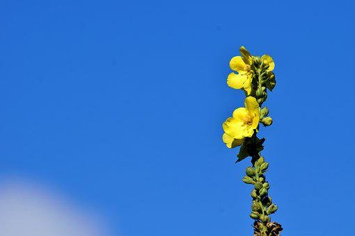 Mullein, Yellow, Nature, Flower, Plant, Flowers