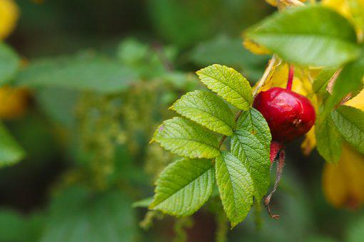 Herb, Rose-hip, Plant, Autumn, Green, Red, Fall, Nature