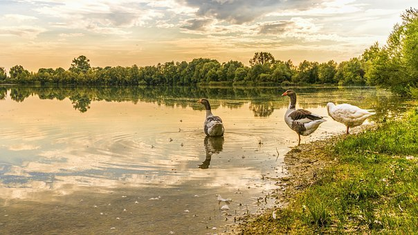 Geese, Lake, Waterfowl, Nature, Water, Goose, Bank
