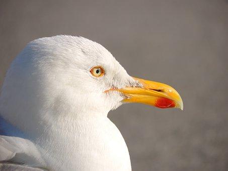 Seagull, Bird, Seevogel, Water Bird, Close, Sea, Animal