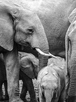 Elephant, Young, Baby Elephant, South Africa, Tusks