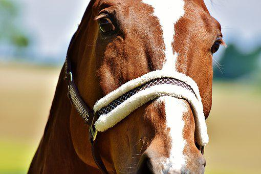Horse, Stallion, Paddock, Brown, View, Face, Horse Head