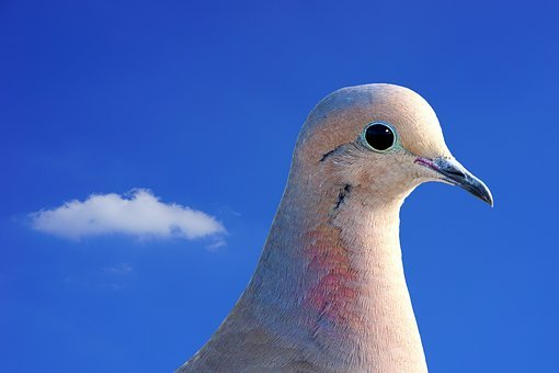 Dove, City Pigeon, Collared, Bird, Animal, Street Deaf
