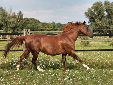Horse, Gallop, Reiterlos, Brown, Warmblut