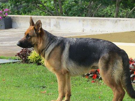 We Friend's Dog Guard, Pastor, German Shepherd