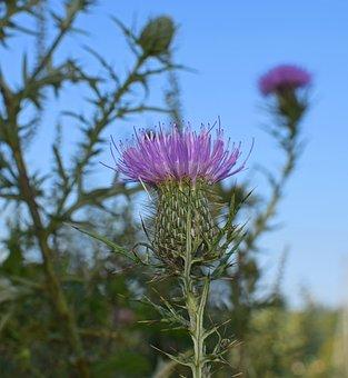 Common Thistles Against The Sky, Wildflower, Flower