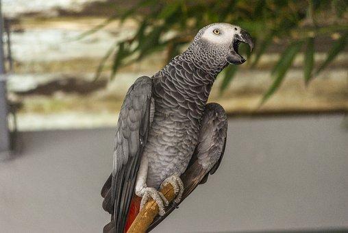 Bird, Parrot, Gray Of Gabon, Zoo