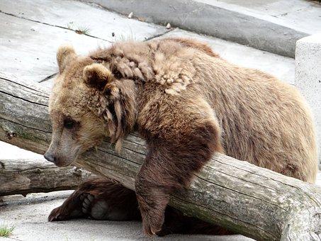 European Brown Bear, The Bear, Zoo, Predator, Feb