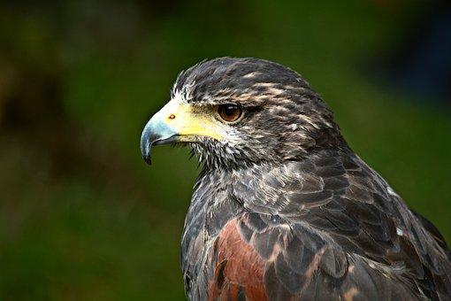 Buzzard, Raptor, Bird, Bird Of Prey, Animal, Nature