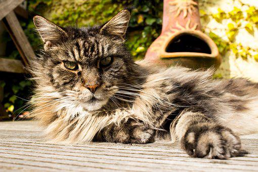 Main Coon, Pet, Cat, Domestic Cat, Garden, Animals