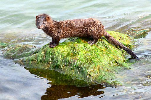American Mink, Aquatic Animal, Lake Erie