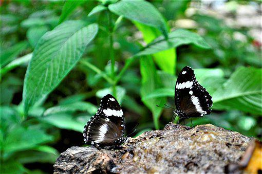 Black And White Butterflies, Flower, Nature, Natural