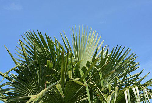 Palm, Leaf Green, Au Gratin, Blue Sky Nature, Tree