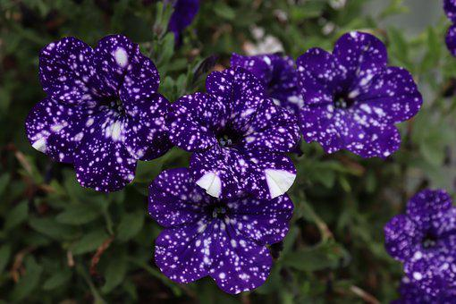 Flower, Petunia, Color, Blue, Spotted, Ornamental Plant
