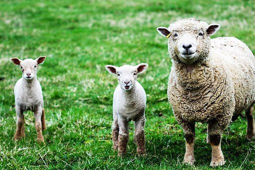 Sheep, Lambs, Farm, Wool, Young, Spring, Cute, Symbol