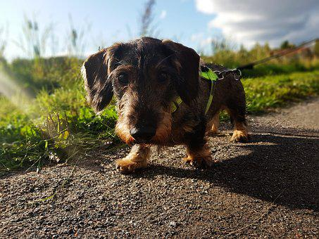 Dachshund, Dog, Brown, Cute, Hound, Adorable, Outdoors
