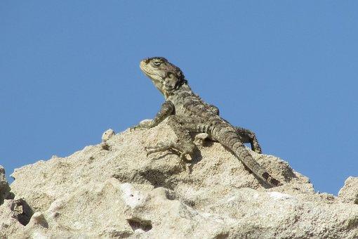 Stellagama Stellio Cypriaca, Lizard, Endemic, Kurkutas