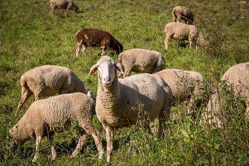 Sheep, Flock Of Sheep, Pasture, Schäfer, Wool, Flock