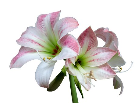 Amaryllis, Flower, Isolated, White, Background, Plant