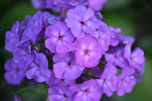 Phlox, Flower, Purple, Flower Garden