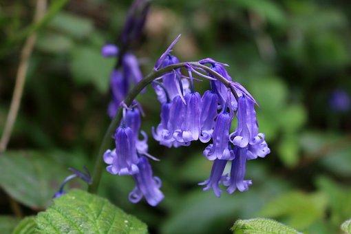 Bluebells, Blue, Flower, Wood, Spring, Nature, Wild