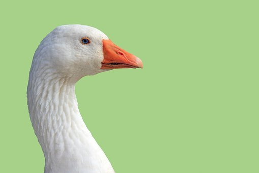 Goose, Head, Close-up, Green, Background, Nature