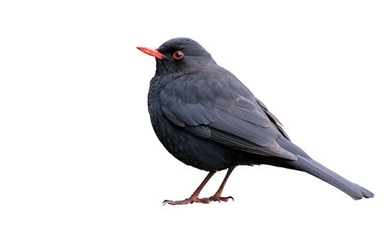 Blackbird, Isolated, White, Background, Bird, Animal