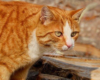 Cat, Mackerel, Red Mackerel Tabby, Red Cat, Kitten