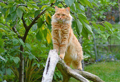 Cat, Red Tomcat, Upright, Mieze