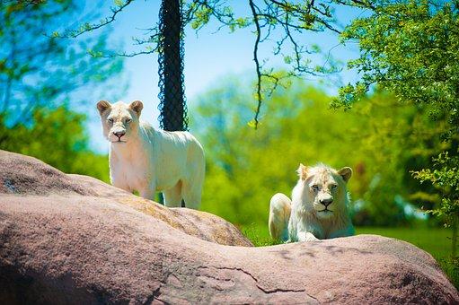 Lion, Cub, Toronto Zoo, Imran, Mughal, Wildlife, Nature
